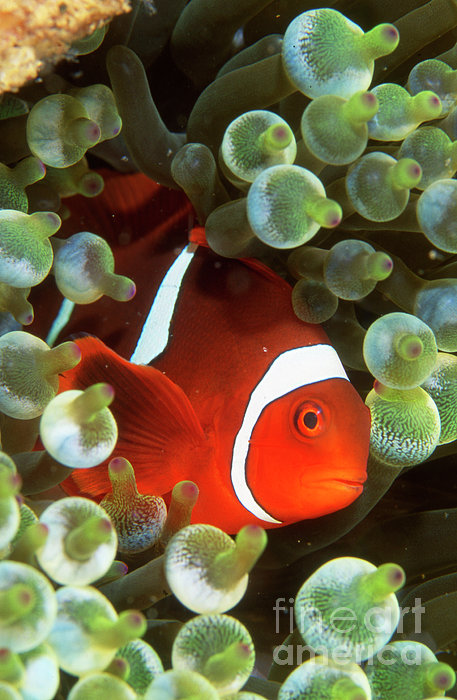 Tomato clownfish anemone - photo#16