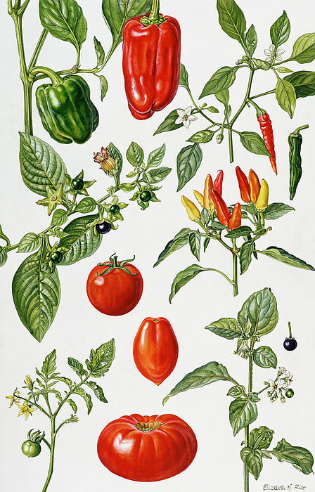 Tomatoes And Related Vegetables Print by Elizabeth Rice