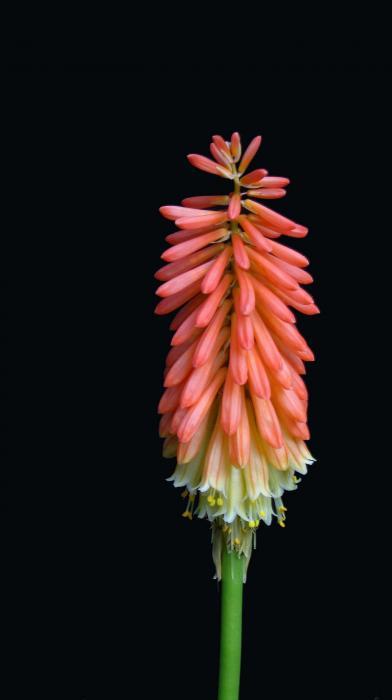 Torch Lily Print by Linda Vespasian