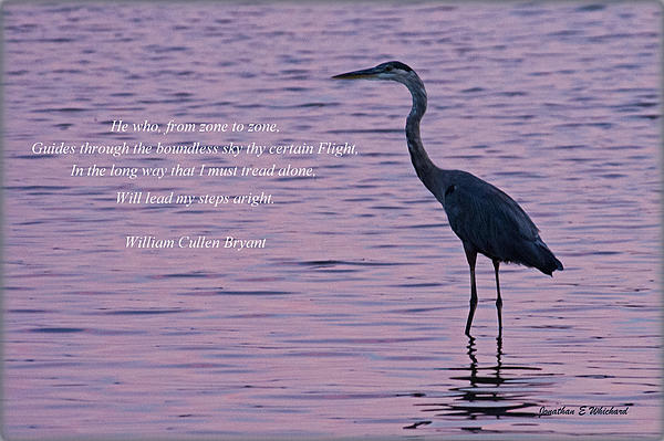 Treading Alone   Great Blue Heron  Print by Jonathan Whichard