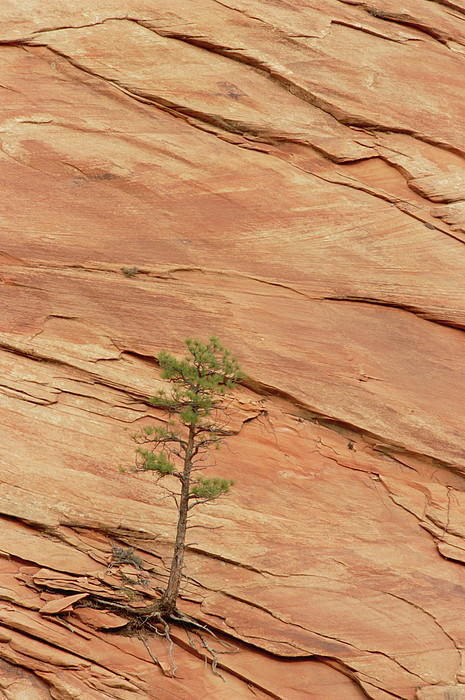Tree Clinging To Sandstone Formation Print by Gerry Ellis