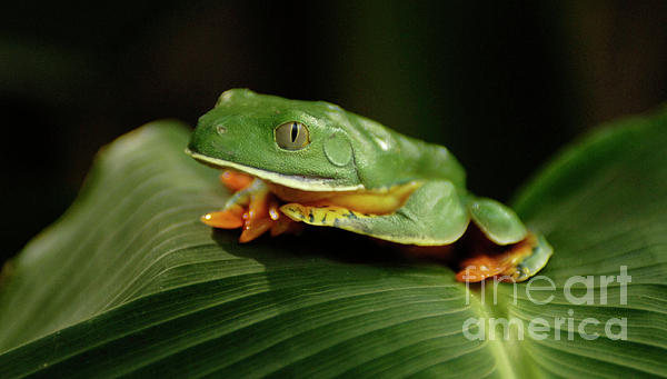 Tree Frog 1 Print by Bob Christopher