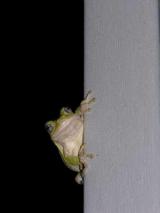 Anna Dubon - Tree Frog
