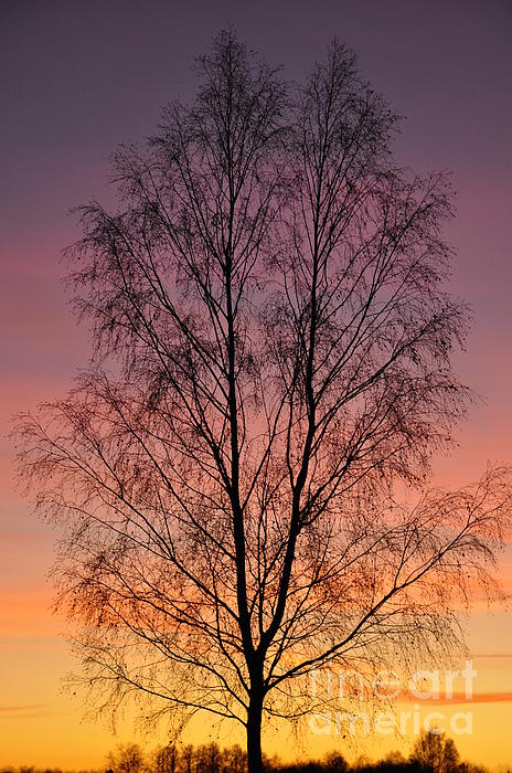 Tree In Sunset Print by Conny Sjostrom