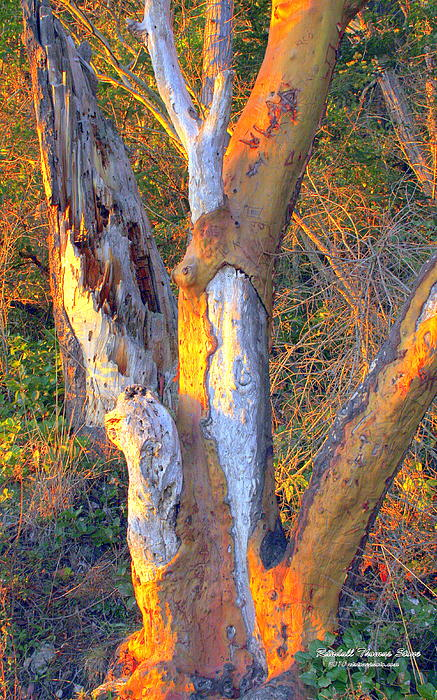 Tree In The Sunset Print by Randall Thomas Stone