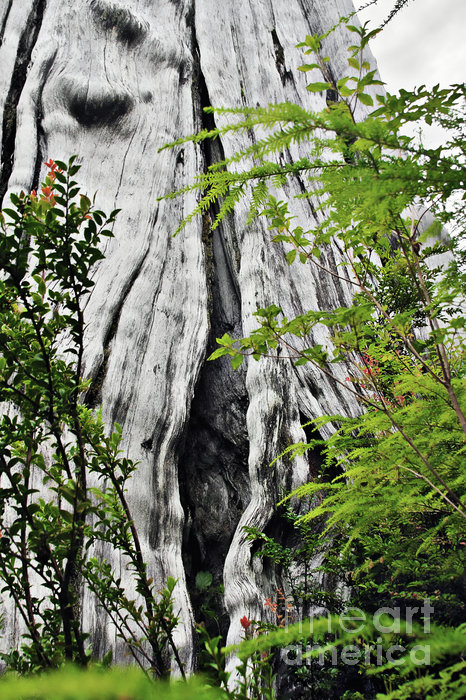 Tree Of Life - Duncan Memorial Big Western Red Cedar Print by Christine Till