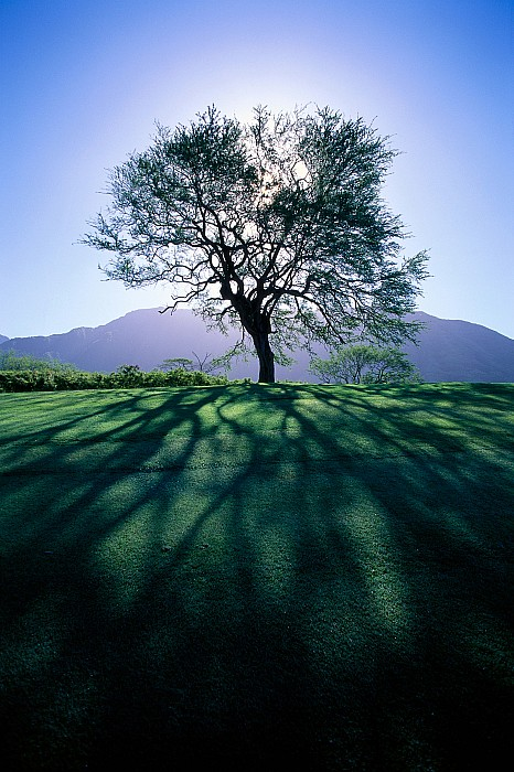 Tree On Grassy Knoll Print by Carl Shaneff - Printscapes