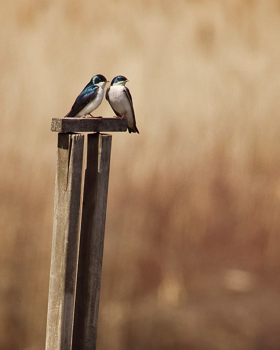 Tree Swallows On Wood Post Print by Jody Trappe Photography