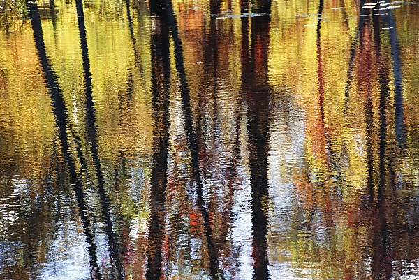 Trees And Fall Foliage Reflected Print by Medford Taylor
