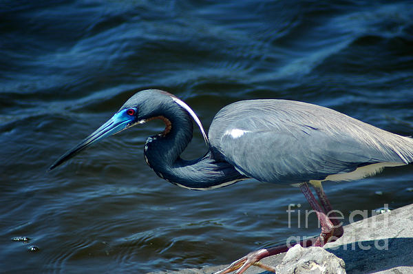 David Weeks - TriColored Heron