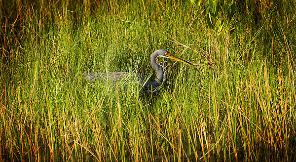 Rich Franco - Tricolored Heron