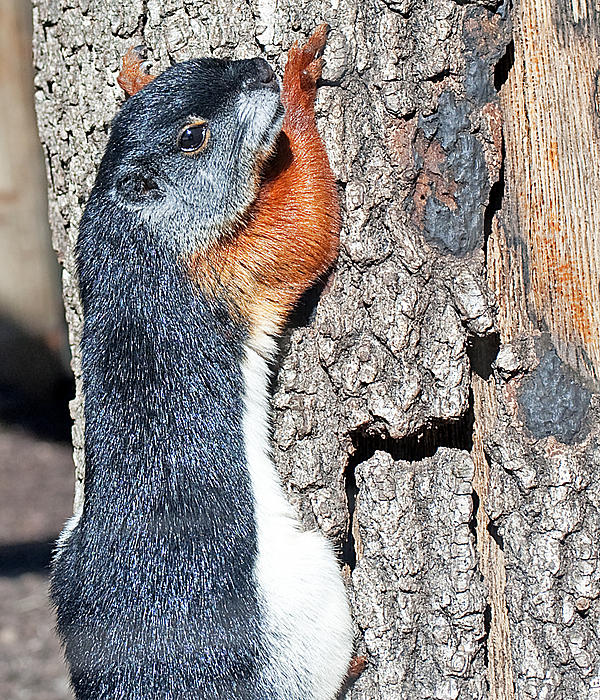 Tricolored Squirrel Print by Kenneth Albin