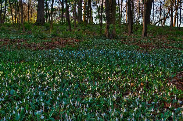 Trout Lilies On Forest Floor Print by Steve Gadomski