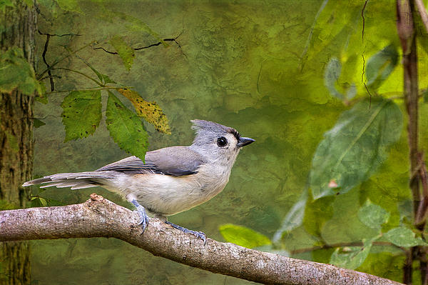 Bonnie Barry - Tufted Titmouse in the Forest