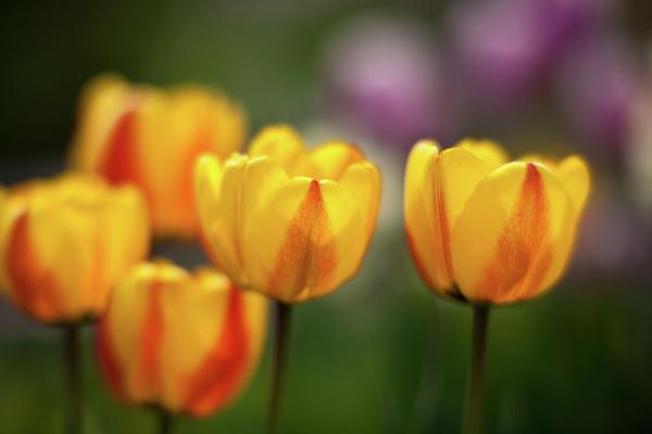 Tulip Glow Print by Mike Reid