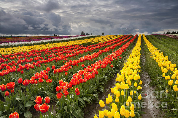 Tulip Storm Print by Mike  Dawson