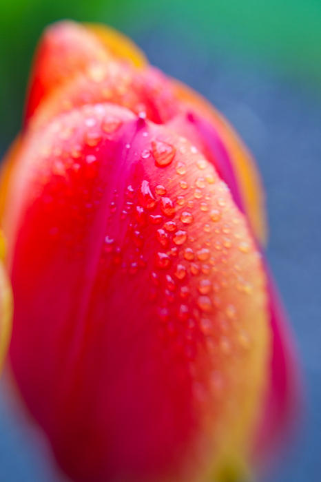 Tulip With Morning Dew 3 Print by Edward Myers