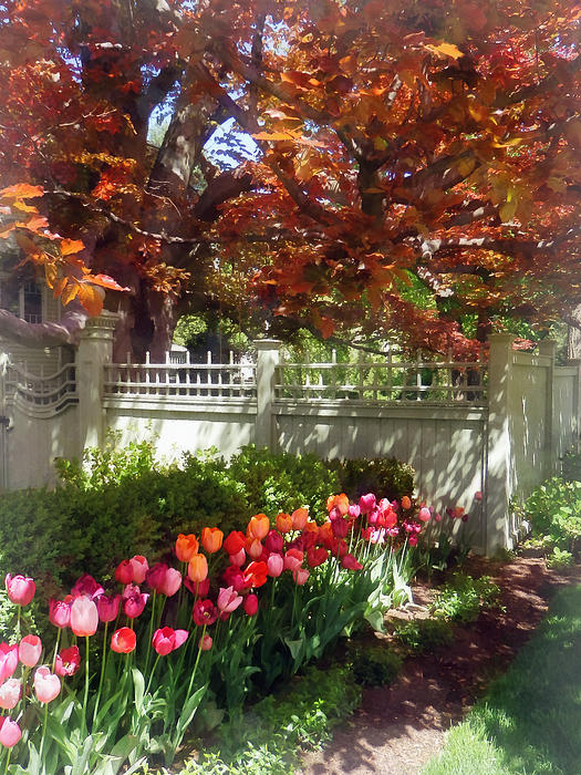 Tulips By Dappled Fence Print by Susan Savad