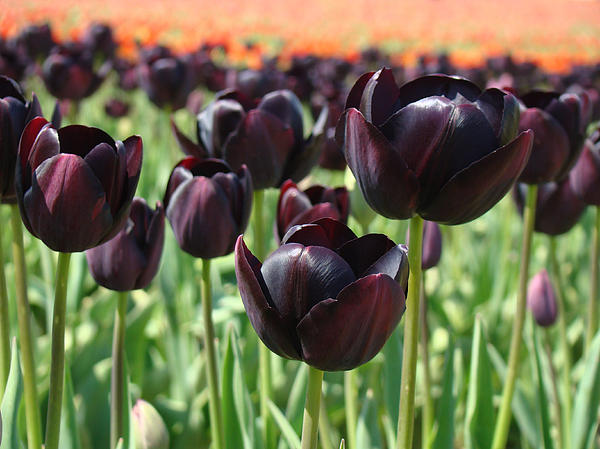 Deep Purple Tulip Flowers