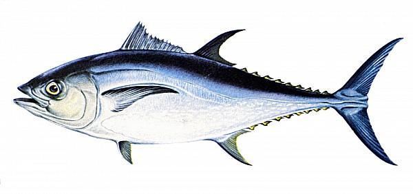 Tuna Print by Granger