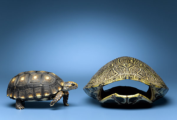 Turtle Looking At Larger, Empty Shell Print by Jeffrey Hamilton