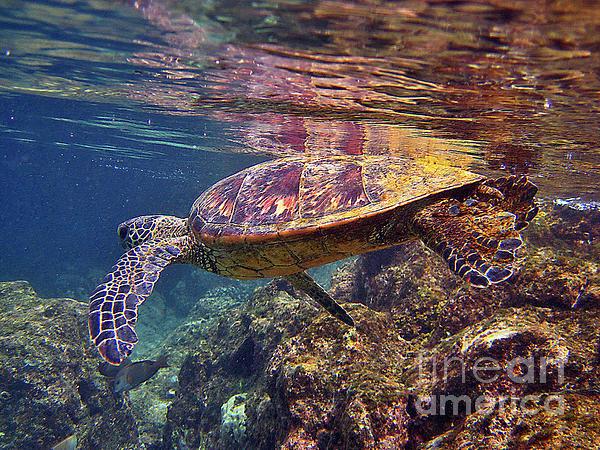 Turtle Reflections Print by Bette Phelan
