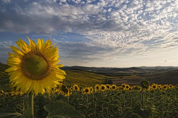 Marco Vegni - Tuscany Sunflowers