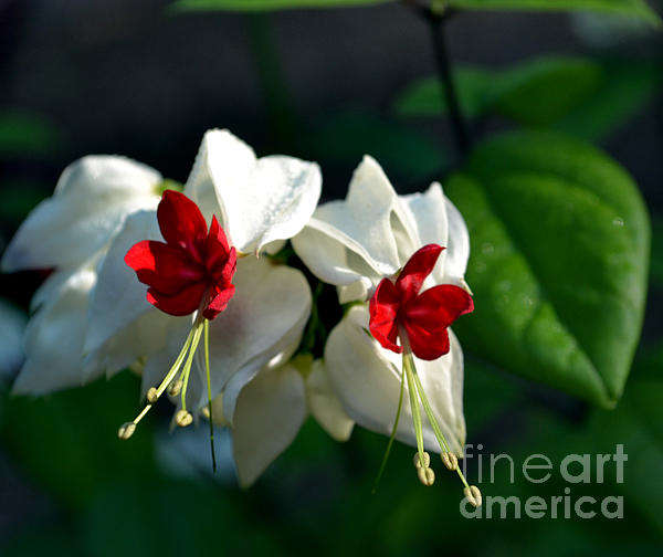 Eva Thomas - Twin Bleeding Heart Vine Flowers