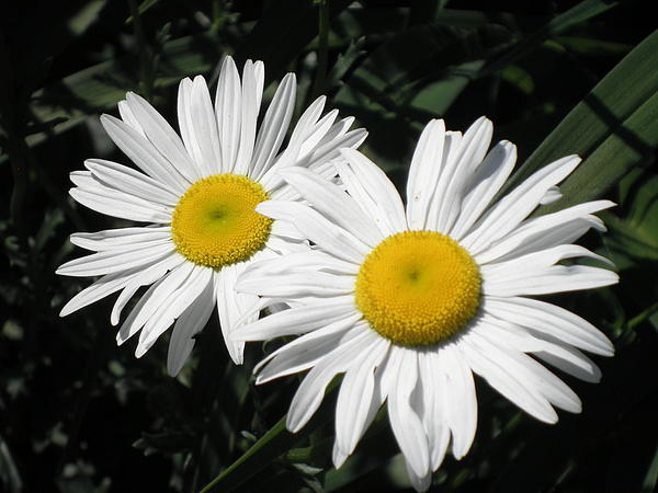 Kate Gallagher - Twin Daisies