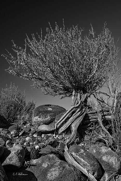 Twisted Beauty - Bw Print by Christopher Holmes