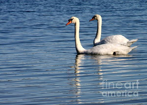 Two Beautiful Swans Print by Sabrina L Ryan