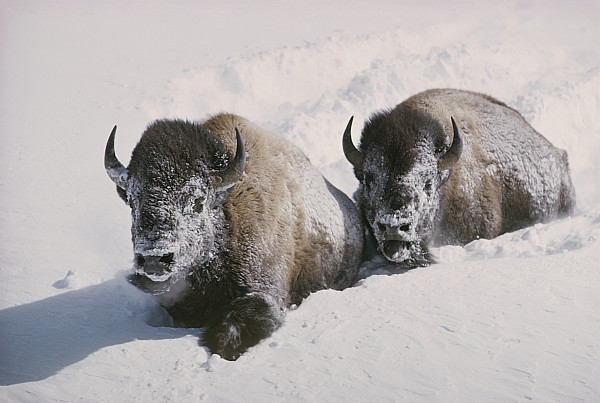 Two Bison Move Through Chest-deep Snow Print by William Albert Allard