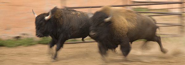Two Bison Race Each Other Print by Ralph Lee Hopkins