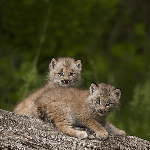 Two Canada Lynx Lynx Canadensis Kittens Print by Richard Wear