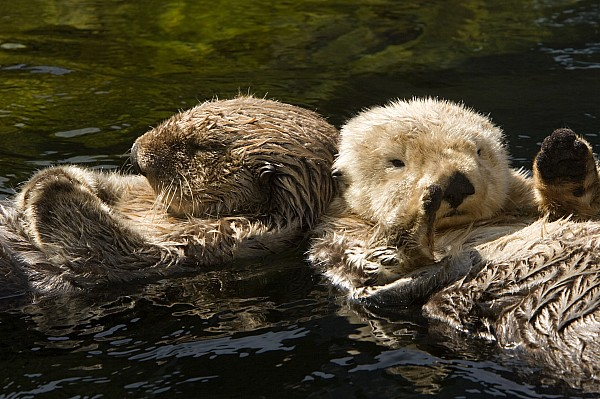 Two Captive Sea Otters Floating Back Print by Tim Laman
