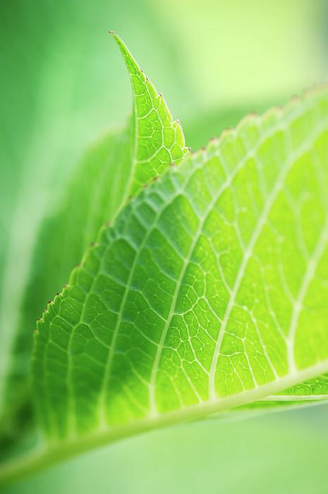 Two Fresh Leafs Of Hydrangea-plant Print by Elisabeth Schmitt