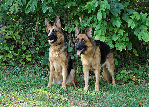 Sandy Keeton - Two German Shepherds