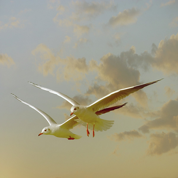 Two Mediterranean Gulls In Flight Print by Christiana Stawski
