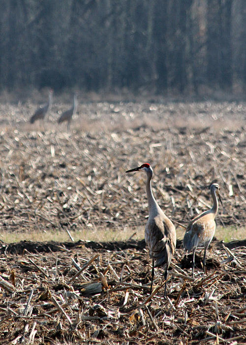 Two Pairs Of Sandhill Cranes Print by Mark J Seefeldt