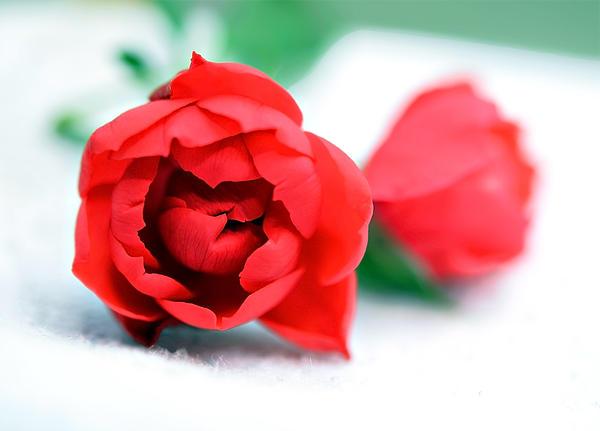 Two Rose Buds Print by Susan Leggett