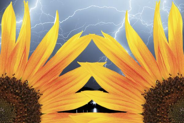 Two Sunflower Lightning Storm Print by James BO  Insogna
