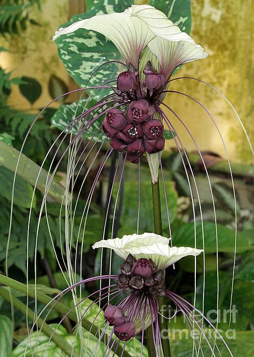 Two White Bat Flowers Print by Sabrina L Ryan