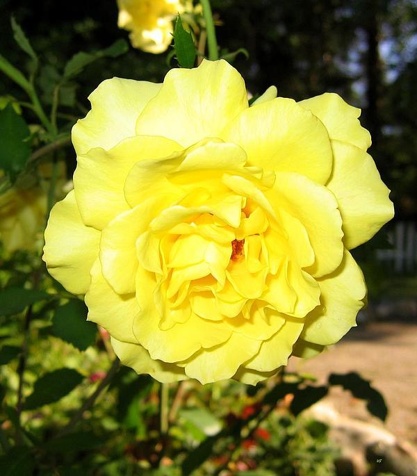 Will Borden - Upbeat Yellow Rose