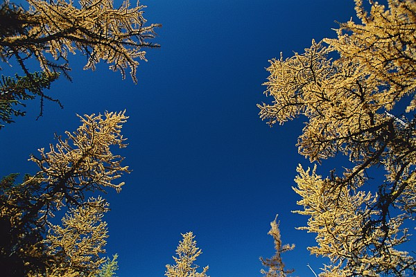 Upward View Of Blue Sky And Conifer Print by Raymond Gehman
