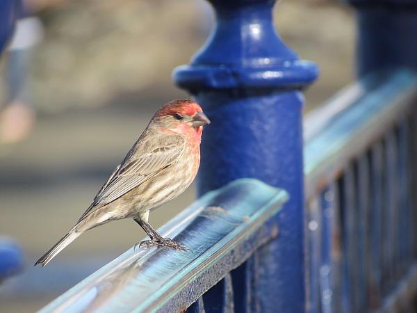 Urban Sparrow Print by Bonnie Muir