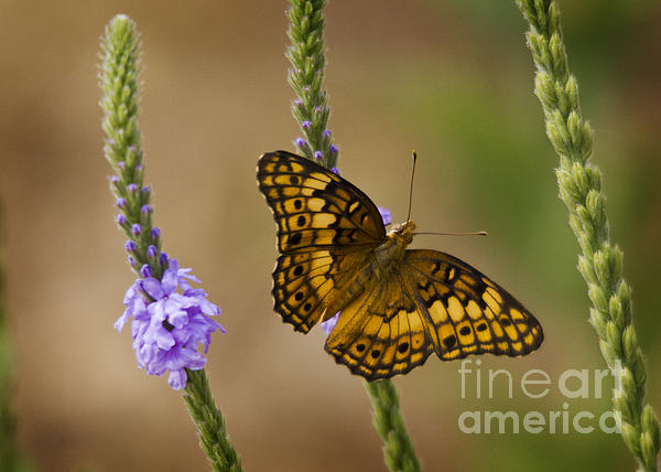 Brian Peterson - Variegated Fritillary