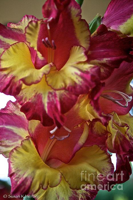 Vibrant Gladiolus Print by Susan Herber