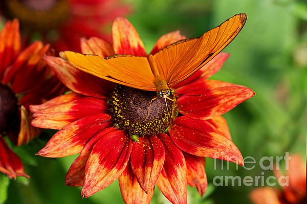 Inspired Nature Photography By Shelley Myke - Vibrant Julia Tropical Butterfly on Flower
