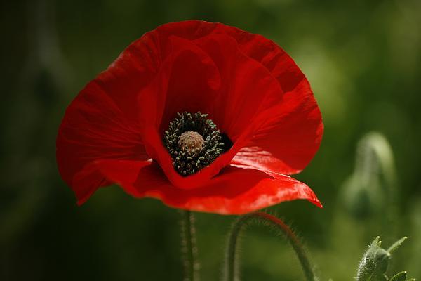 Vibrant Red Oriental Poppy Wildflower By Kathy Clark
