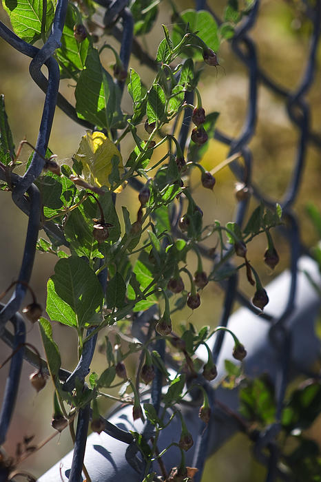 Vine On A Fence Photograph  - Vine On A Fence Fine Art Print